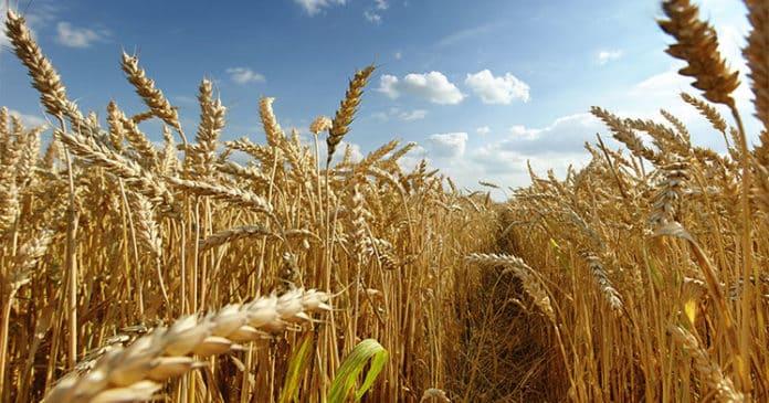 Buğday ve Diyabet