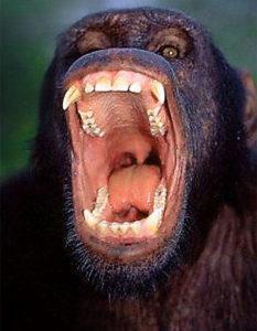 Ağzı açık şempanze