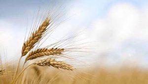Diyabet ve Buğday ilişkisi