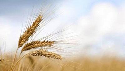 Gıda alerjisi buğday
