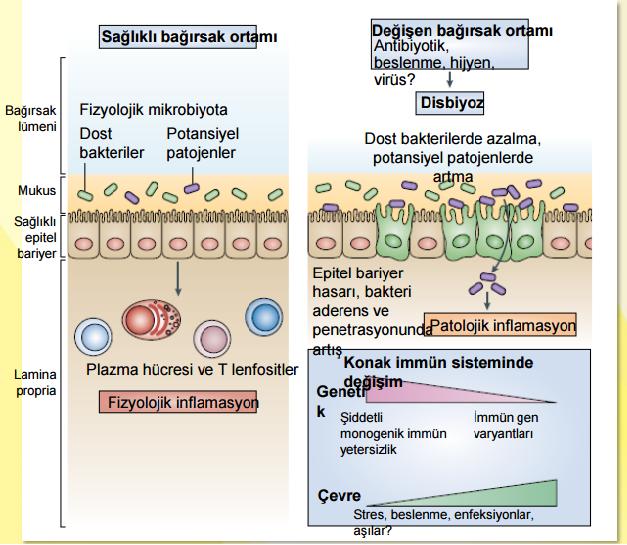 Mikrobiyota bağırsak