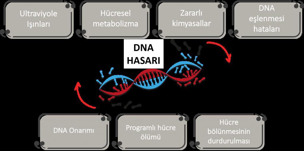 DNA hasarı