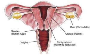 Endometriozis ve endometrium nedir