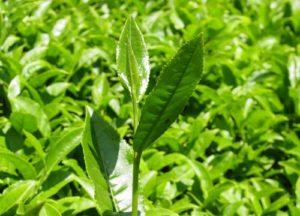 bitkiler yeşil çay