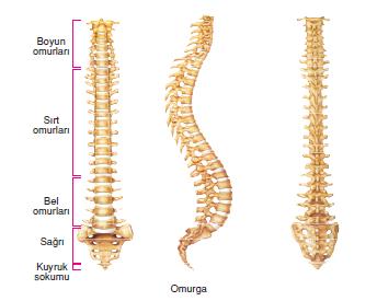 mekanik bel ağrısı insan omurga iskelet