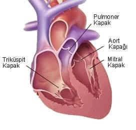 Kalp hastalığı kalp kapakçıkları