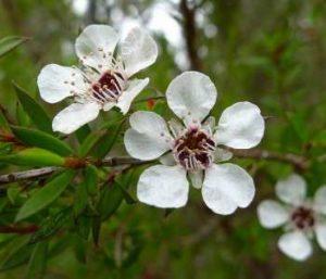 şifalı bitkiler çay ağacı